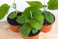 Three young kiwi seedling Stock Photography