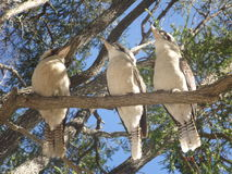Three young Kookaburras Royalty Free Stock Images