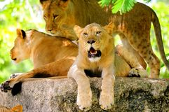 Free Three Young Lions Stock Photos - 56740213