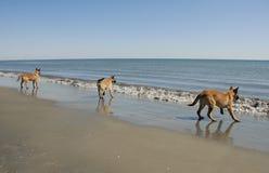 Three young malinois on the beach. Three puppies belgian shepherd malinois and the mediterranean sea Royalty Free Stock Photos