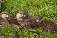 Three young Oriental small-clawed otter. Royalty Free Stock Photography