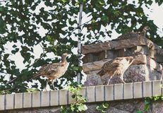 Three young pheasants on stone fence Royalty Free Stock Photo