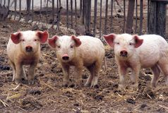 Three young piglets Royalty Free Stock Photography