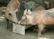 Three young pigs at trough. Three muddy young pigs feeding at a trough royalty free stock photography