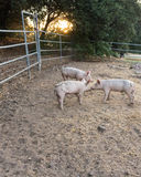 Three young pink dirty domestic pig siblings w cute curly tails, facing each other noses touching, sunset lighting Stock Photos