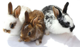 Three young rabbits Stock Photography
