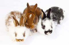 Three young rabbits Royalty Free Stock Photos