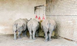 Three young rhino rear ends three red lights Stock Images