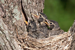 Three young robins cry in with hunger pain. Three unfledged young robins cry in hunger for their parents to feed them; birds in a nest with shallow focus next Stock Image