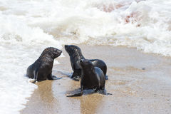 Three young seals at Cape Cross Royalty Free Stock Photography