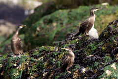 Three Young shag's. Sitting on a rock Royalty Free Stock Photos