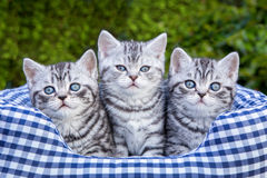 Three young silver tabby cats in checkered basket. Three young british short hair black silver tabby spotted kittens sitting in checkered basket stock images