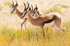 Three young Springbok in the Kalahari desert. Three young Springbok grazing in the Kalahari desert Royalty Free Stock Photography