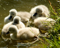 Three young swans Royalty Free Stock Photos