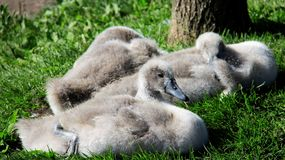 Three Young Swans Relax And Sunbathe On Green Grass stock photo