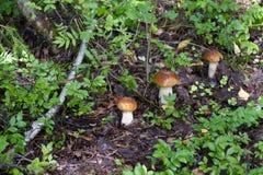 Three young white mushroom Stock Photos