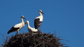 Three young white storks in nest against blue sky. stock video