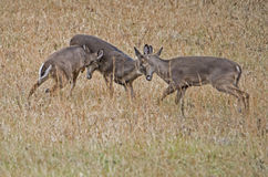 Three young White Tailed Bucks playing together. Stock Images