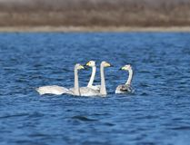 Three young whooper swans with a parent floating. On blue water Stock Photo