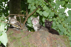 Three young wild cats Royalty Free Stock Photos
