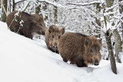 Three Young wildboars (Sus scrofa). Young wild boar walking in the snow (Sus scrofa Royalty Free Stock Image