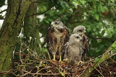Three youngs buzzards on the nest stock photo