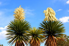 Three yucca trees Royalty Free Stock Photo