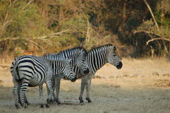 Three zebra Stock Photo