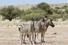 Three zebra Stock Photography