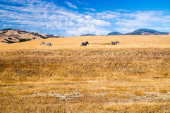 Three Zebra grazing on California coast grasslands Royalty Free Stock Photo