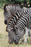 Three Zebra grazing. Two zebra standing side by side in the Kruger Park - South Africa Stock Images
