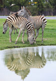 Three zebra on green field eating grass leaves use for african a Stock Image