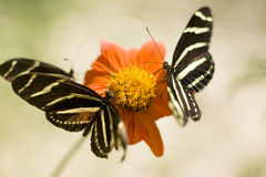 Three Zebra Longwing butterflies Stock Photography