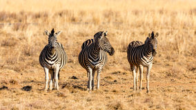 The three zebra musketeers Royalty Free Stock Photos