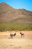 Three zebra  in savanna against the mountain Royalty Free Stock Photo