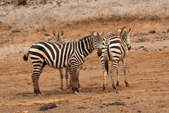 Three Zebras Royalty Free Stock Photo