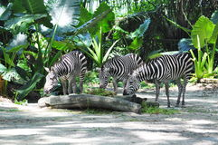 Three Zebras Stock Photos