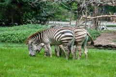 Three zebras Stock Image