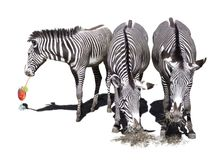 Three Zebras Royalty Free Stock Photos