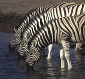 Three zebras Stock Photo