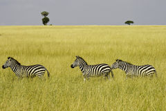 Three zebras. Walking through grassland in Masai Mara,Kenya Royalty Free Stock Photo