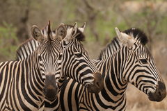 Three Zebras. A beautiful portrait shot of three zebras in the Kruger National Park South Africa stock photos