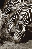 Three Zebras in Black and White Stock Photos