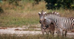 Three Zebras bonding in the grass. Royalty Free Stock Photo