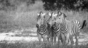 Three Zebras bonding in the grass. Royalty Free Stock Photography