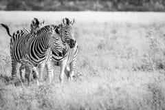Three Zebras bonding in the grass. Royalty Free Stock Photos