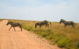 Three zebras crossing road in Serengeti Stock Image