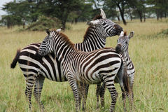 Free Three Zebras Cuddling Royalty Free Stock Image - 4788486