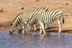 Three zebras drinking Royalty Free Stock Photos