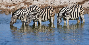 Three zebras drinking. At a waterhole in Namibia Royalty Free Stock Image